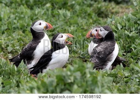 A group of Puffins on the Farne Islands off the coast of the North East of England