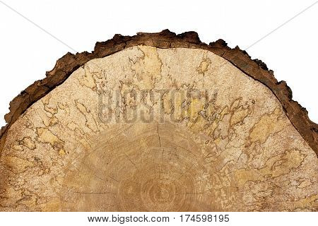 Close-up of half saw cut large birch with bark on white background. It is clearly visible pattern formed wooden fungus.