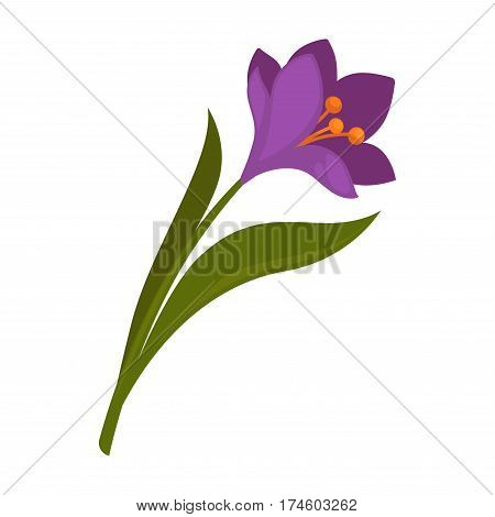 Spring violet crocus flower with green leaves isolated on white. Vector illustration of colorful flora element in flat design. Crocus with many violet petals, orange stamens, green stem and leaves.
