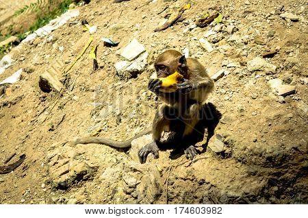Macaque monkey eating in sunlight kuala lumpur malaysia