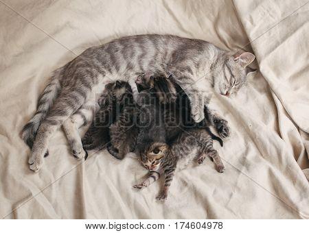 Grey mother cat feeding little tabby kittens