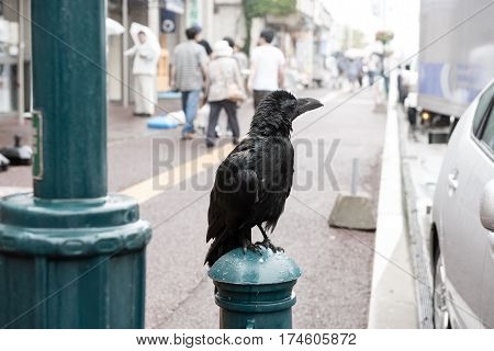 Black Crow In City