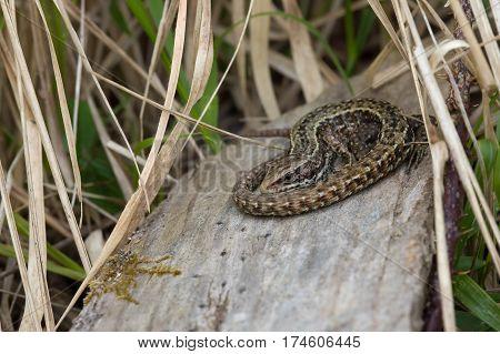 Common Lizard (Zootoca vivipara) basking on log