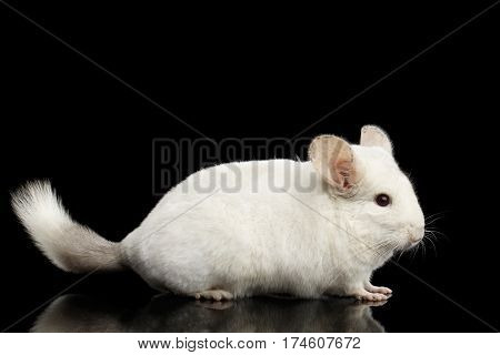 White Chinchilla on Isolated Black background. side view