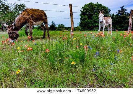 A Donkey In Texas Field Of Wildflowers