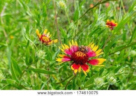 Closeup of Honey Bee on a Texas Indian Blanket (or Fire Wheel). Gaillardia pulchella (Asteraceae).