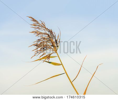 Flowering common reed plant as a featherlike plume against a blue sky.