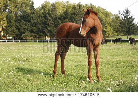 Adorable few weeks old beautiful foal side view closeup on spring meadow at animal farm rural scene
