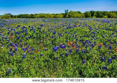 Amazing Texas Bluebonnets.