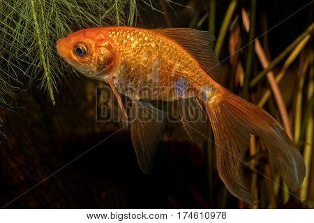 Portrait Of Barb Fish (carasius Auratus) In Aquarium