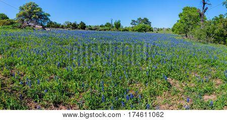 Panorama Of Amazing Texas Bluebonnets.