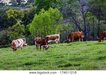 Texas Longhorn Cattle Grazing in a Pasture in Texas.