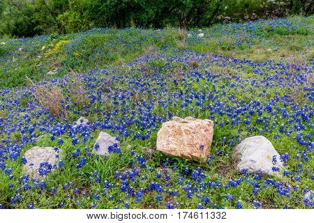 A Patch Of Texas Bluebonnets.