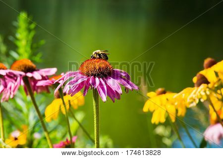 A bumble bee on a coneflower near the duck pond in Central Park in New York City.