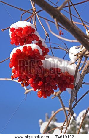 Fragment of a bush viburnum (Viburnum opulus) on a background of blue sky. Viburnum berries covered in snow at wintertime.