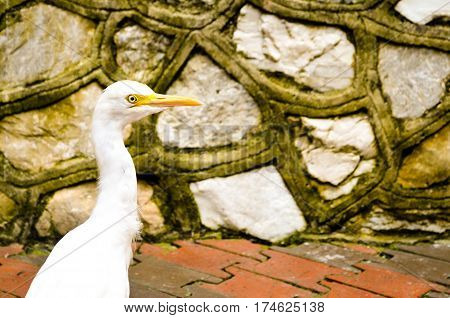 potrait of white cattle egret bird bevore a wall