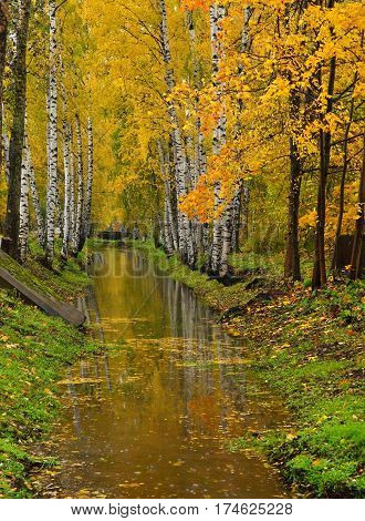 Birch trees with autumn foliage grows on both sides of the irrigation canal.