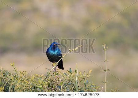 Greater Blue-eared Starling From Addo Elephant National Park, South African
