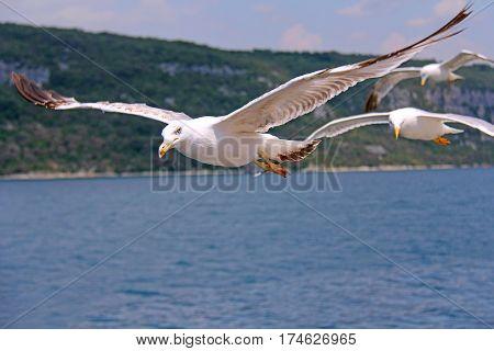 seagull in flight. Croatia. seagull on the sea background