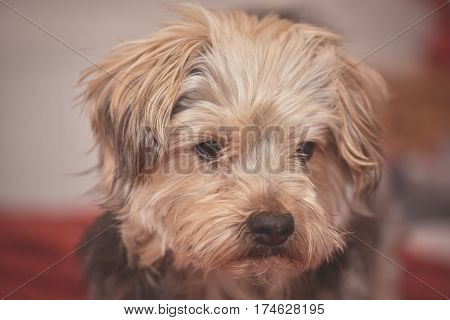 Cute yorkshire terrier puppy dog looking a little sad and sleepy on red background. Used matt effect