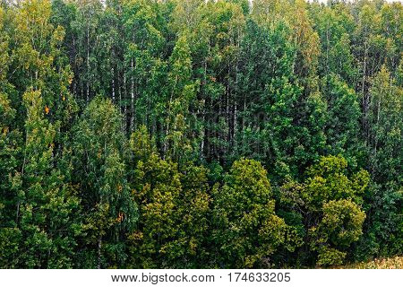 Background texture of green birch forest in autumn