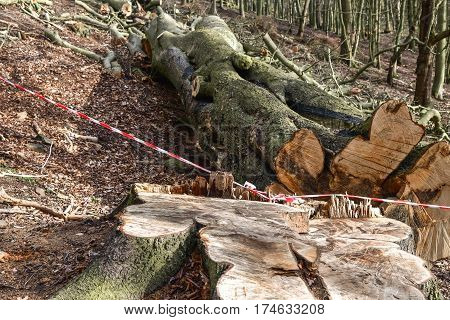 Felled lumber logs in the forest in sunny day