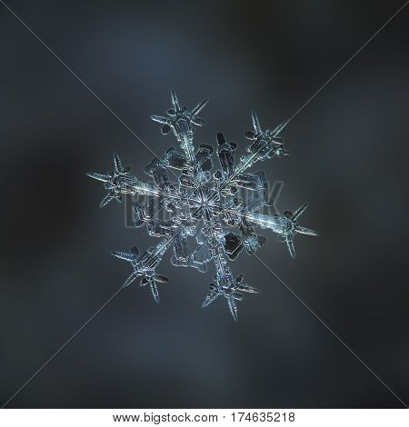 Macro photo of real snowflake: large snow crystal of stellar dendrite type with complex, ornate arms and beautiful inner structure with lots of small details, glittering on dark gray blur background.