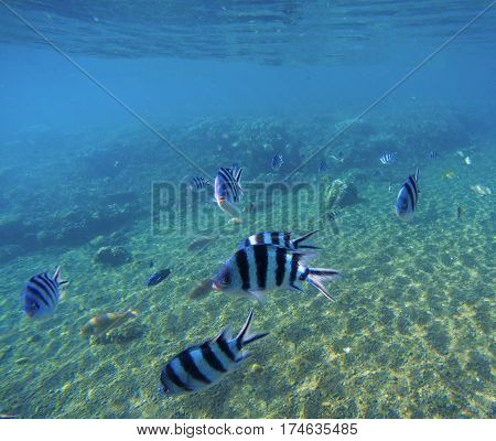 Underwater landscape with exotic fish Dascillus. Blue seawater and sand seabottom. Snorkeling photo with oceanic animals. Tropical lagoon wildlife. Black and silver stripe sergeant fish in wild nature