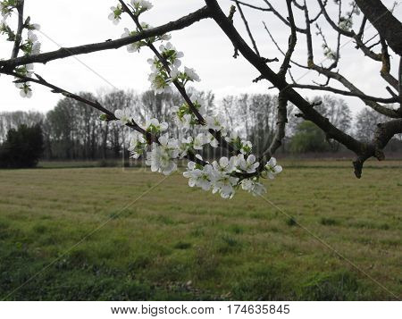 Blossoming plum . Flowering white tree in spring . Tuscany Italy