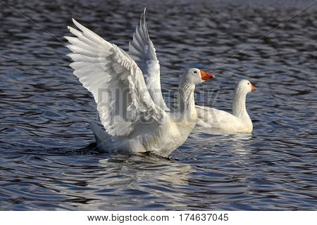 A white goose flapping it's wings on a pond