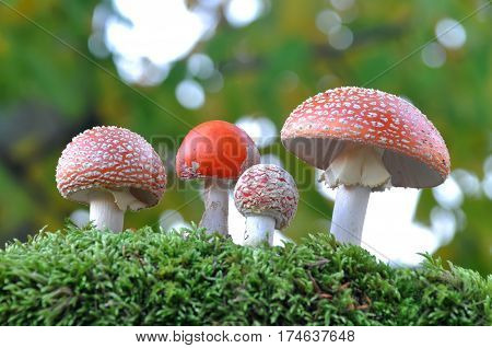 Amanita muscaria family. Group of spotted toadstools in the woods. Fly agaric (Amanita muscaria) toxic and psychedelic mushroom