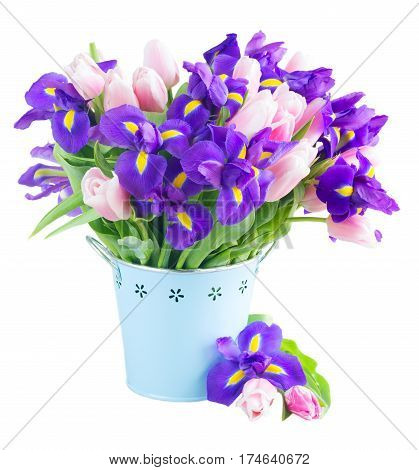 Blue irises and pik tulips in pot isolated on white background
