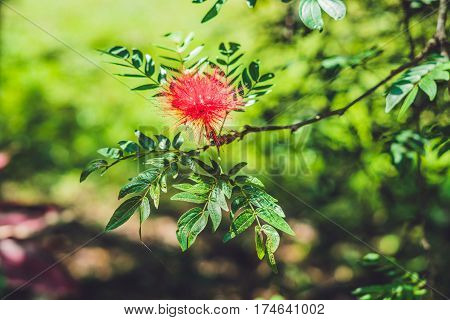 Red Fluffy Powderpuff Flower Blooming in The Garden. poster