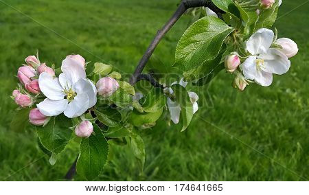 Branch of a spring apple-tree with beautiful white flowers