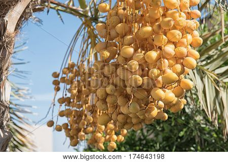 A bunch of yellow dates on a date palm