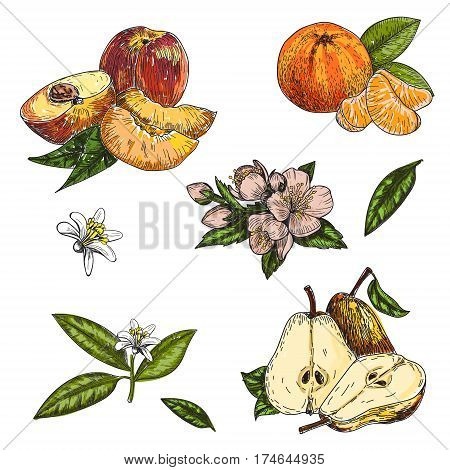 vector set hand made sketch illustration of engraving pear, peach, mandarin leaves and flowers on white background