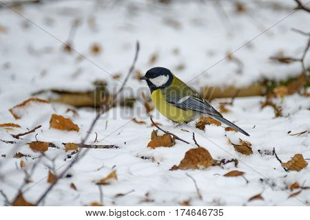 A Great tit (Parus major) tries to find anything eatable in the snow during a cold winter-day