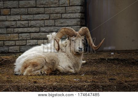 A Dall sheep laying on the ground