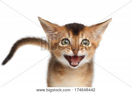 Portrait of Meowing Abyssinian Kitty with tail call mom on Isolated White Background