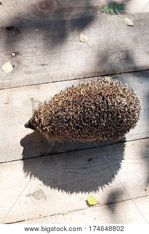 hedgehog closep with its funny shadow on wooden floor background