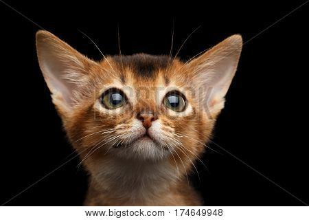 Portrait of Cute Abyssinian Kitty with huge eyes on Isolated Black Background