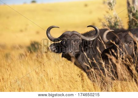 Close-up picture of two adult buffalos at Kenyan savannah, Africa