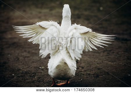 Wild White Duck Spreading Wings In Forest Countryside, White Duck Bird Flapping Wings Outdoors Close