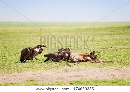 The vultures flock eating the carcass of a wildebeest, Kenya, Africa