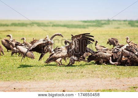 White-backed vulture herd crowding on wildebeest carcass at African savannah