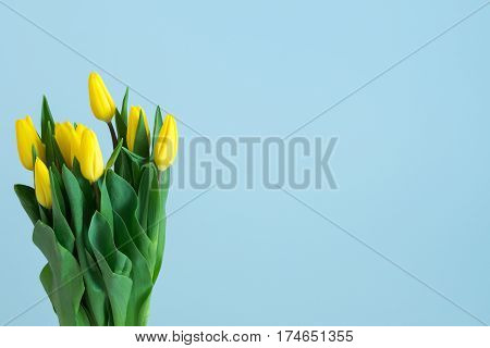 yellow tulips on the left side of light blue background. Easter March 8 valentines day mothers day copy space close up