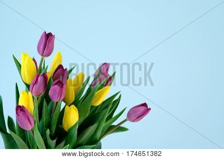 violett and yellow and violett tulips on the left side ofl ight blue background. Easter March 8 valentines day mothers day copy space close up