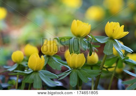 Winter aconite / Eranthis hyemalis grows in Southern Europe, the picture is taken in Germany. poster