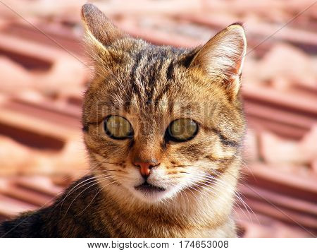 Cat pictures, cat eyes, pictures of the most beautiful cat eyes, cute cat, innocent cat pictures, close-up cat pictures, brown cat, van cat, eyes different cat, white cat