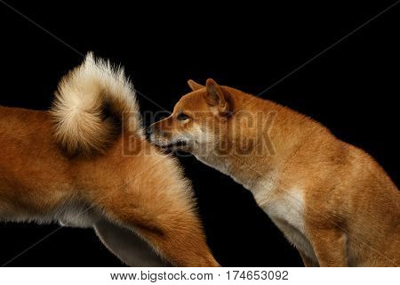 Mating of Two Shiba inu Dogs, Sniffing under tail, Isolated Black Background, side view